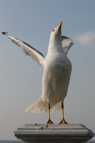 martı kanat gerilme kabarma uç